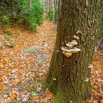 Shelf Fungus on Dead Hemlock