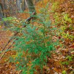 Surviving Hemlock beside the Bald Knob Ridge Trail