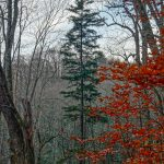 Tall Spruce on the Bald Knob Ridge Trail