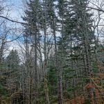 Spruces near the Blue Ridge Parkway