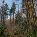 Spruces on Bald Knob Ridge