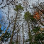 Living Hemlocks on Bald Knob Ridge