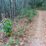 Grassy Road Trail Small Rhododendron