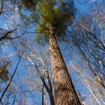Tall White Pine beside Sycamore Cove Trail