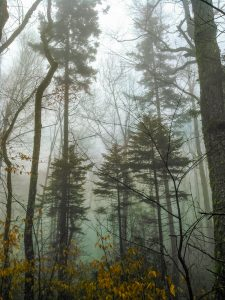Spruces in Fog