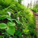 Trilliums Beside the Snowball Trail