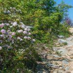 Blooming Mountain Laurel on Shortoff Mountain