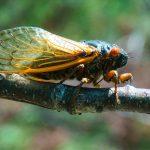 Brood VI Cicada on Shortoff Mountain