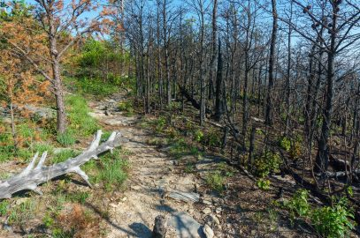 Fire Scalded Pines on Shortoff Mountain