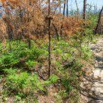 Burned Pines on Shortoff Mountain
