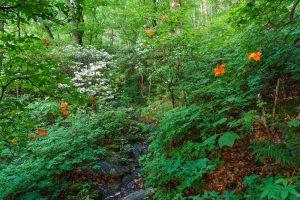 Flame Azalea and Mountain Laurel