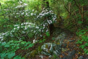 Mountain Laurel Bloom beside the Mountains to Sea Trail