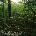 Setting Sun over Mountain Laurel