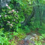 Mountain Laurel beside the Mountains to Sea Trail