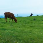 Cattle Grazing on Bearwallow Mountain
