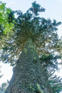 Huge Spruce beside the Big But Trail