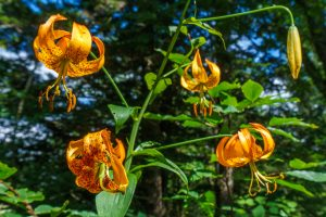Turk's Cap Lily beside the Big Butt Trail