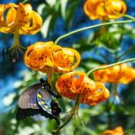 Pipevine Swallowtail on Turks Cap Lily