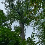 Crown Dieback in Joyce Kilmer Big Trees