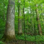 Big Trees in Joyce Kilmer Memorial Forest