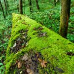 Mossy Log in Joyce Kilmer