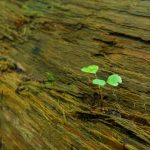Seedling on a Nurse Log in Joyce Kilmer