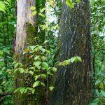 Yellow Birch in Tree Crotch