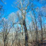 Big Ivy = Big Trees