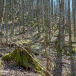 Mossy Stumps on the Walker Creek Trail