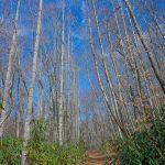 Tall Trees on the Walker Creek Trail