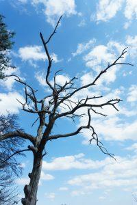 Dead Pine on the Chestnut Knob Trail