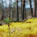 Pine Seedling in Moss