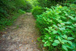 Hydrangea on the Ivestor Gap Trail