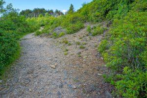 Conifers Beside Ivestor Gap Trail