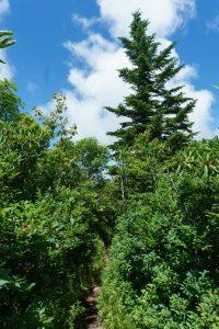 Spruce on the Art Loeb Trail
