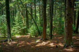 Spruce Forest on the Art Loeb Trail Near Shining Rock Gap