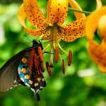 Butterfly on Turks Cap Lily