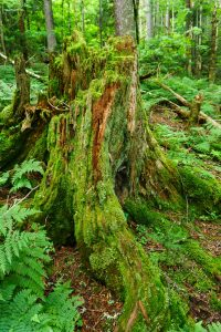 Mossy Stump in Spruce Forest