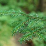 Red Spruce Twig