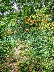 Turks Cap Lily on the Big Butt Trail