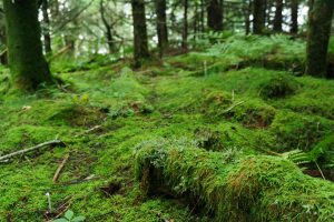 Mossy Forest on the Old Mitchell Trail