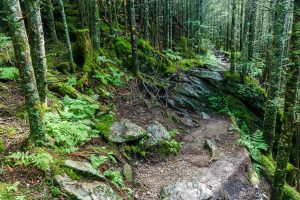 Old Mitchell Trail Under the Firs