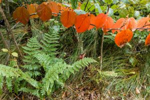 Early Fall Color in Hobblebush