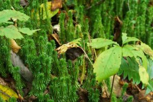 Clubmoss on Hickory Branch