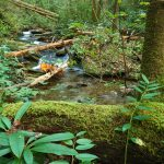 Mossy Log Beside Hickory Branch
