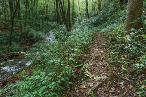 Stream and Doghobble on the Hickory Branch Trail