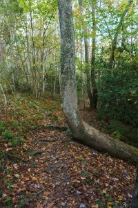 Horizontal Tree on the Little Green Trail