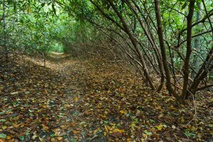Rhododendron Tunnel on the Macs Gap Trail