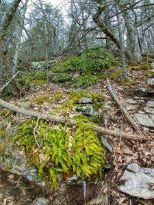 Ferns on Rock