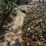 Galax Along the John Rock Trail